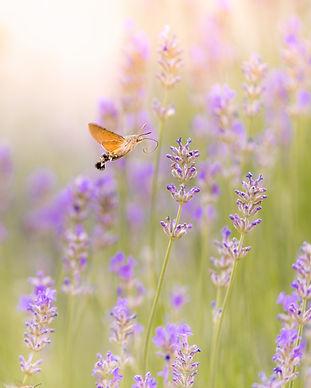 brown-moth-hovering-over-purple-flower-1