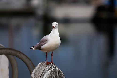 Sea Gull, Apollo Bay