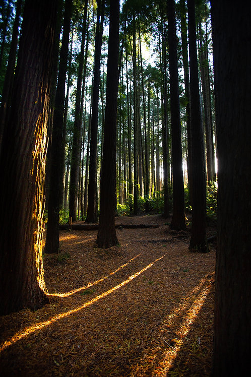 'The Redwoods' Beech Forrest