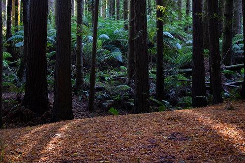 'The Redwoods' Beech Forrest