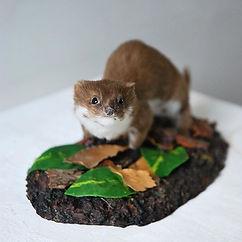 John Moore Museum Weasel Taxidermy