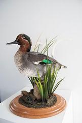 duck taxidermy