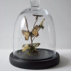 butterflies in a cloche