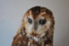 Tawny Owl A10583972_01
