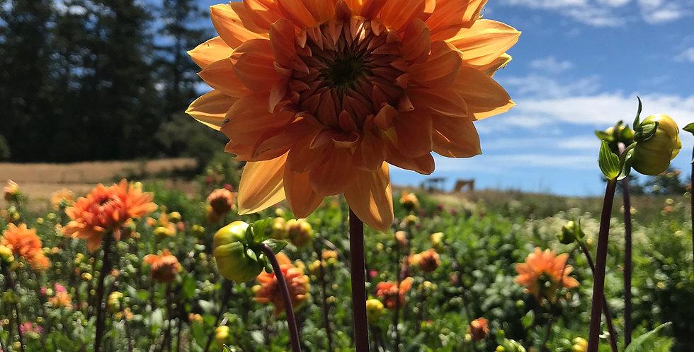 Dahlia Summer Flame