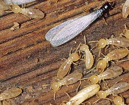 Faites traiter votre charpente bois contre les termites . Choisissez une entreprise de traitement des termites située à Paris ou dans l'un des départements d'Ile-de-France. Spécialiste traitement anti-termites à Paris