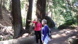 A walk among redwoods