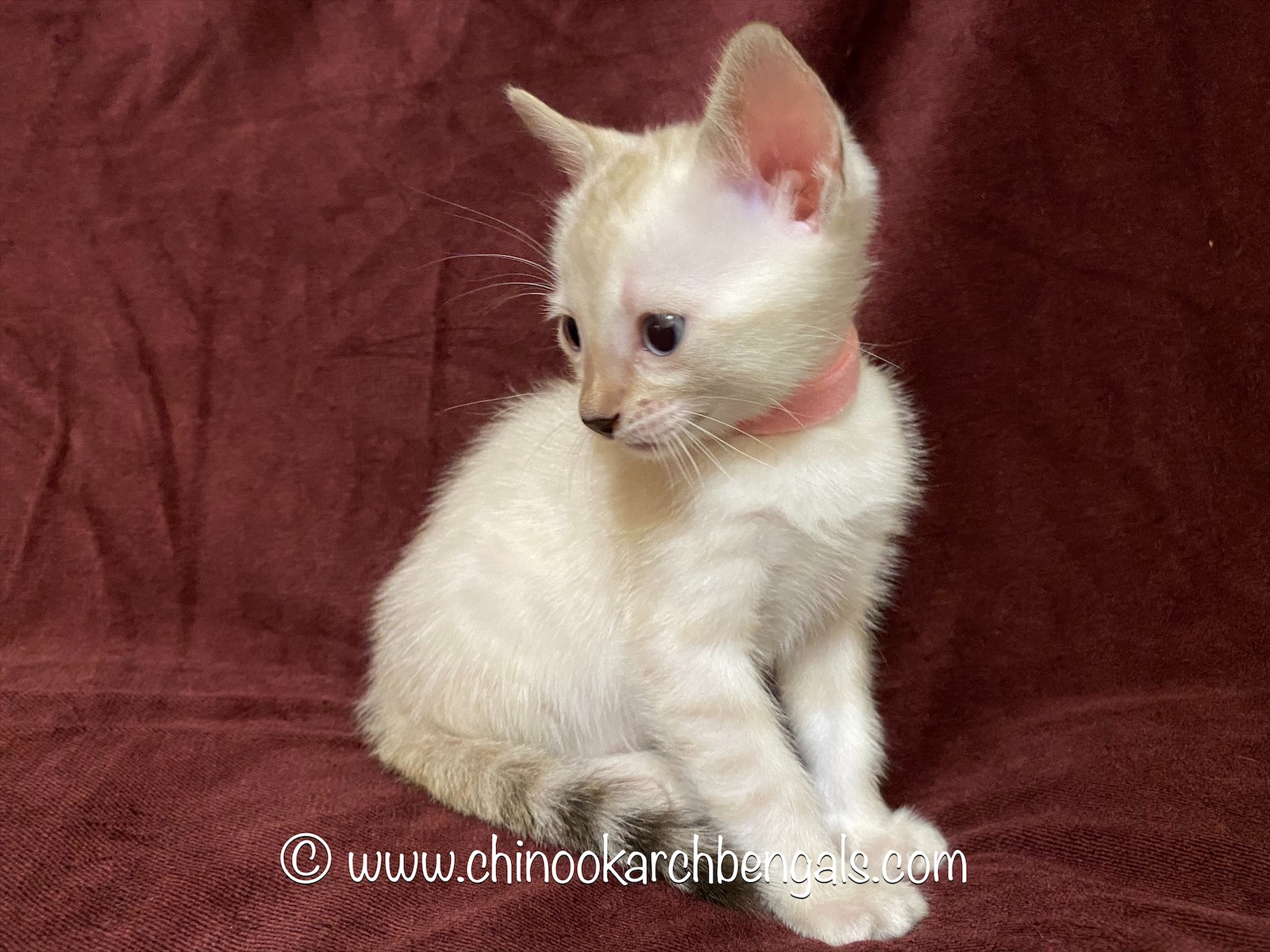 Chinook Arch Bengals - Pixie 7 20 20 (3)
