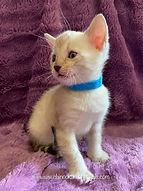 Chinook Arch Bengal Kitten