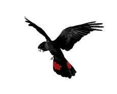 Red-tailed Black -Logo 1_edited_edited.p