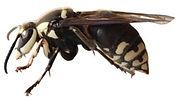 Baldface Hornet (1).jpg