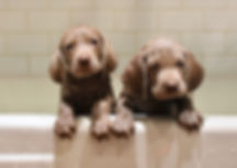 Weimaraner puppies bathtime