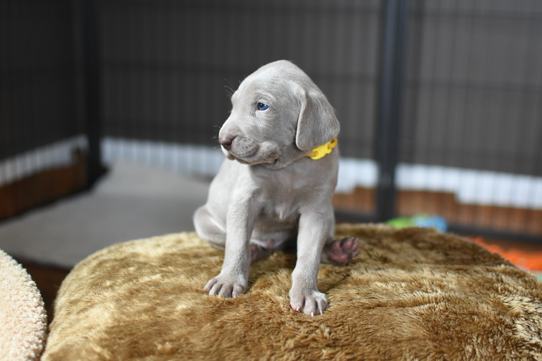 Yellow Boy, 4 weeks old