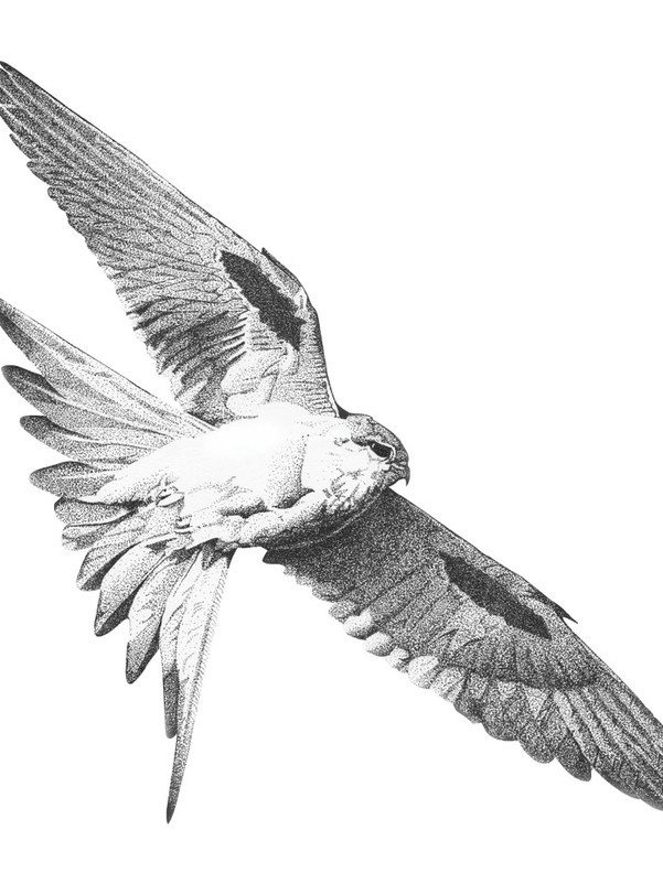 Scissor Tail Kite
