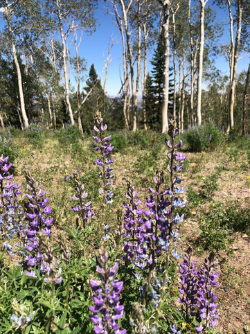 Aspen and Lupine