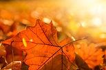 Autumn leaf with sun shining through