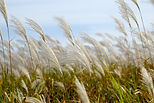 Wheat waving in the wind