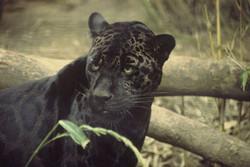 pantera-jaguar
