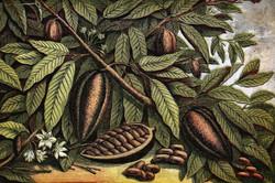 cacao fondo