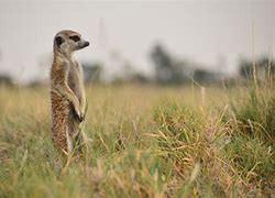 How's your inner meerkat?