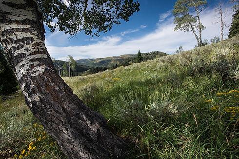 Aspen and grass Huntington reserveX-4771