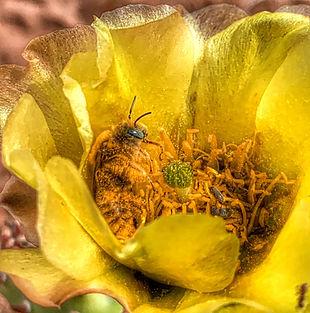 Obrien_Cactus%20Bee%20-%20Diadasia%20sp_