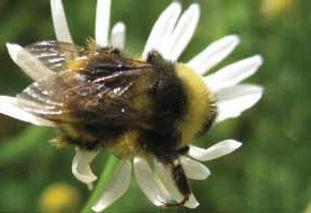 Western bumblebee_JoyceKnoblett.jpg