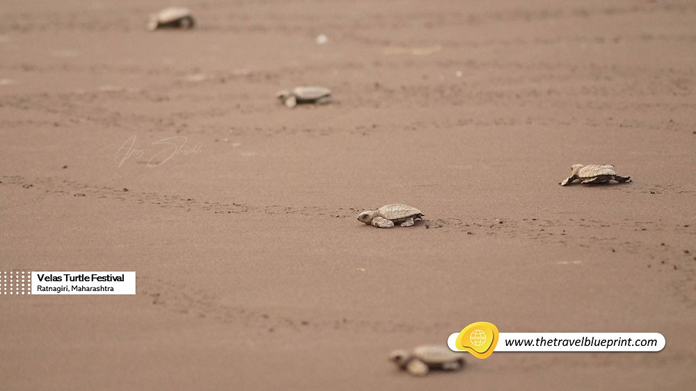 Babies Turtle make their way into the sea guided by the morning sun
