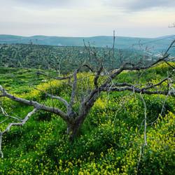 Olive tree in Taybeh, Palestine