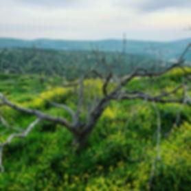palestine taybeh olive tree.jpg