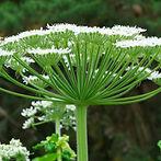 Berce Du Caucase Fleurs