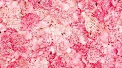 PinkCarnations