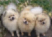 Pomeranias creme sable