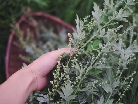 基礎薬草学&やさしいよもぎ 新芽の薬草化粧水&よもぎオイル作り