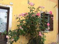 la rosa dell'Ashram