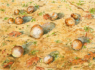 Linda MacDonald, Oak Galls