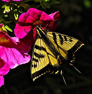 Sandy Strong, Swallowtail Butterfly
