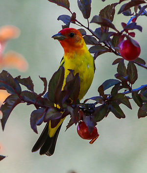 John Glyer,  WESTERN TANAGER