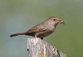 Jack Booth House Wren