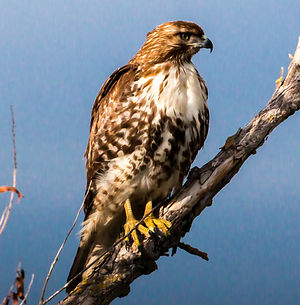 JOHN GLYER, REDTAIL HAWK
