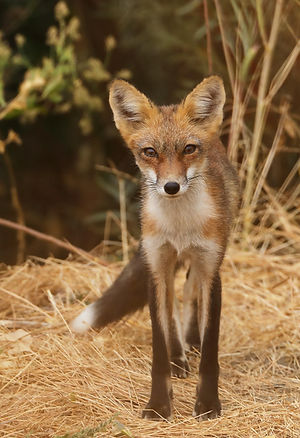 Jack Booth, Red Fox
