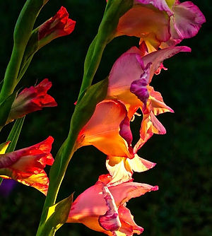 Sandy Strong, Gladiolus In Morning Light