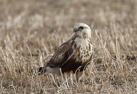 Jack Booth, Rough-Legged Hawk