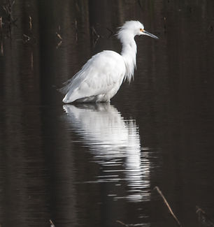 JOHN GLYER,   Snowy Egret