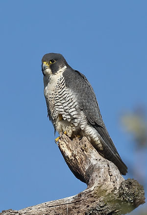 Jack Booth, Peregrine Falcon