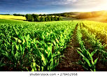 rows-young-corn-plants-on-260nw-27845295