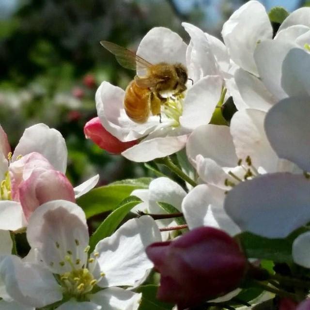 Buzz buzz. Spring is finally in our garden.jpg