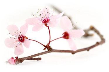 Fleur-de-prunus.jpg