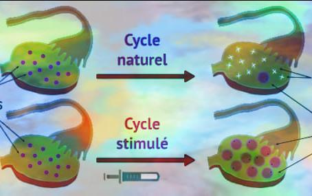 Comparaison entre cycle naturel et cycle stimulé