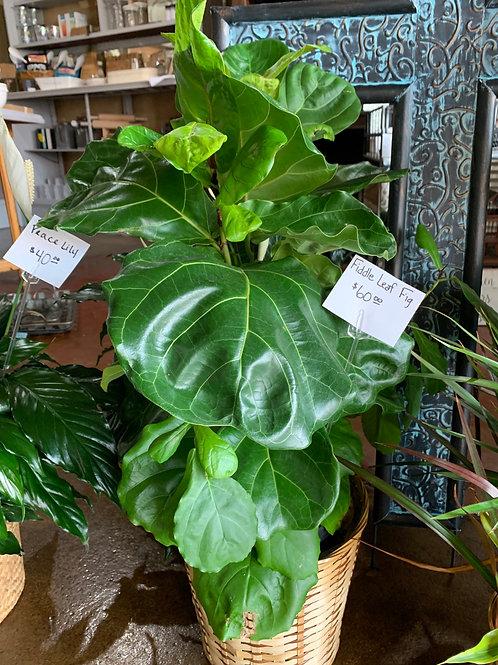 House Plant ($60)